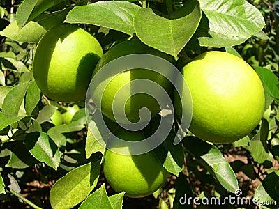 Lemons in the Sunshine