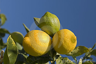Lemons on Tree
