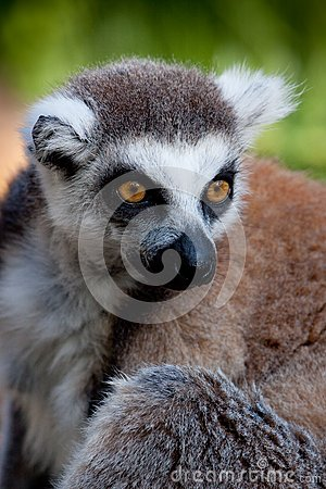 вытаращиться lemur