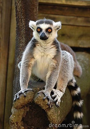 Free Lemur Stock Image - 17516901