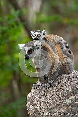 Free Lemur Stock Images - 7993104