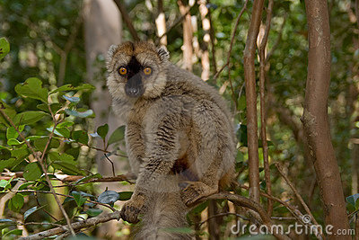 Lemur affronté rouge de Brown