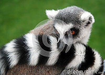 Lemur Animal