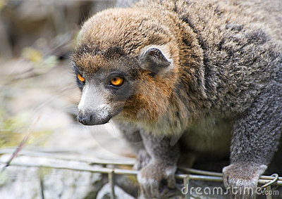 Lemur apacible
