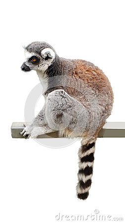 Free LEMUR CATTA Royalty Free Stock Images - 44175879