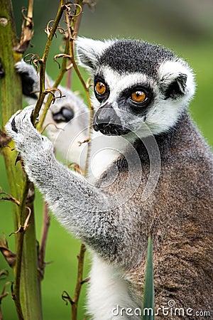 Lemur Climbing