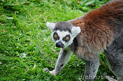 Lemur crouching and staring