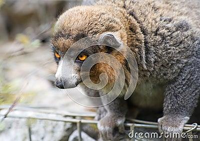 Lemur delicato