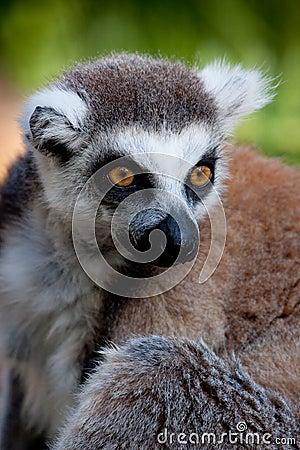 Lemur el mirar fijamente