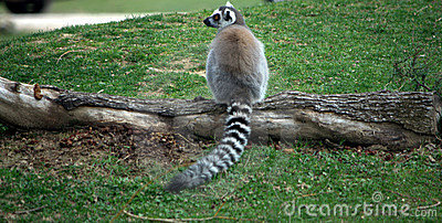 Lemur in a forest