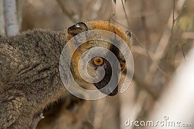 Lemur fronteado vermelho de Brown