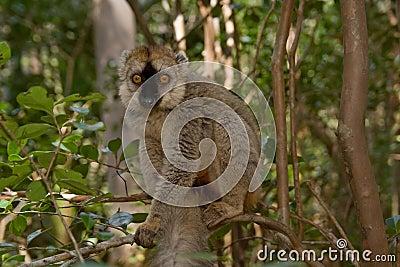 Lemur fronteggiato rosso del Brown