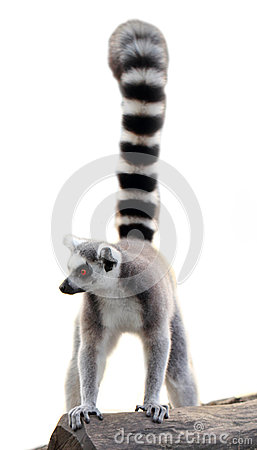 Free Lemur Isolated Royalty Free Stock Photos - 38198218