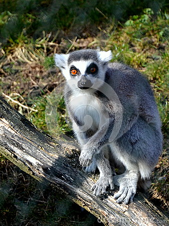 Lemur Kata in ZOO