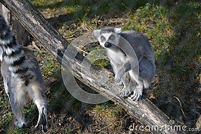 Lemur Kata in ZOO 5