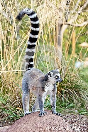 Free Lemur Of Madagascar Royalty Free Stock Images - 26528859