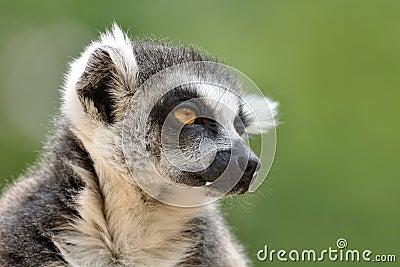Lemur portrait