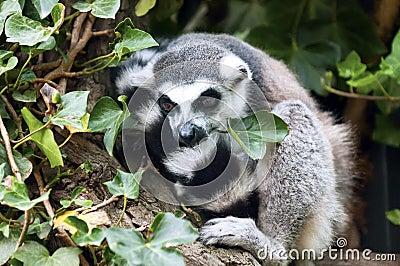 A Lemur resting