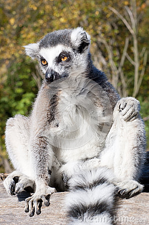 Free Lemur Resting On A Branch Stock Images - 46630044
