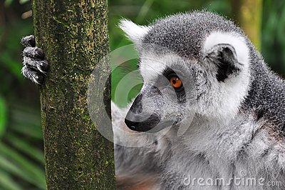 Lemur Staring while Holding Tree Trunk