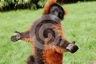 Lemur in the sun