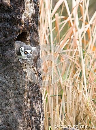 Lemur in a tree on a safari
