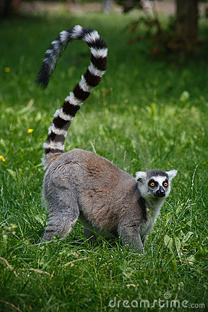 Lemur from a zoo in Germany