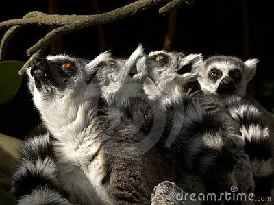 Lemurs looking up