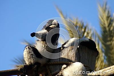Lemurs sunbath