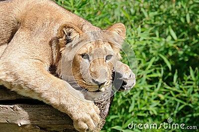 León joven curioso