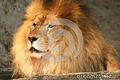 León vigilante