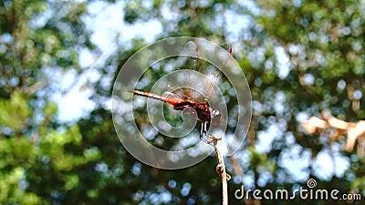 Lent mouvement de la belle libellule atterrissant sur la brindille dans la forêt tropicale clips vidéos