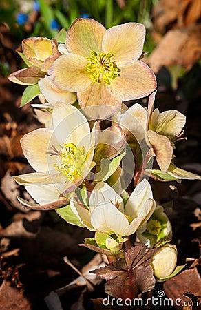 Lenten Rose (Hellebore orientalis) Rises from Ground Clutter