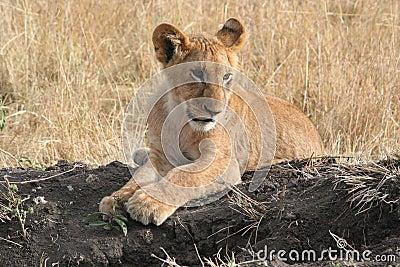 Leão Cub