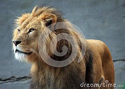 Leão no jardim zoológico