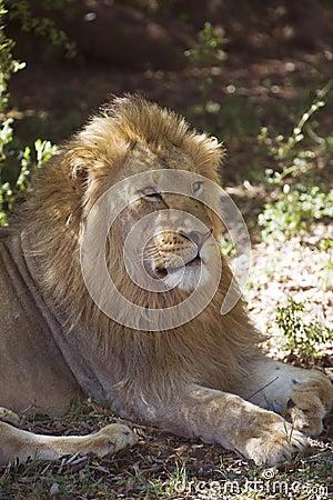 Leão novo