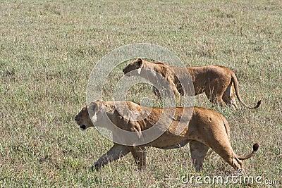 Leonas en el vagabundeo en el cráter de Ngorongoro