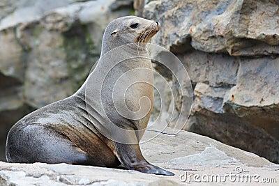 Leone di mare