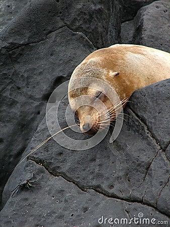 Leone di mare di sonno