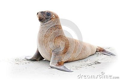 Leone di mare sulla spiaggia