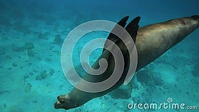 Leone marino che gioca con il underwater del ciottolo stock footage