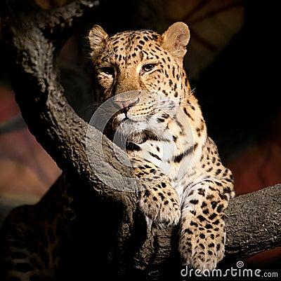 Free Leopard Stock Photo - 13619750