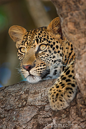 Free Leopard Stock Image - 1915461