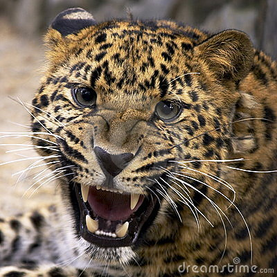 Free Leopard Royalty Free Stock Photo - 269525