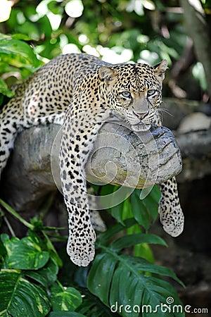 Free Leopard Royalty Free Stock Photo - 42406415