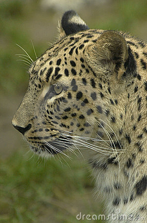 Free Leopard Stock Photo - 4372690