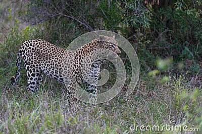 Leopard in the beauty of African bush