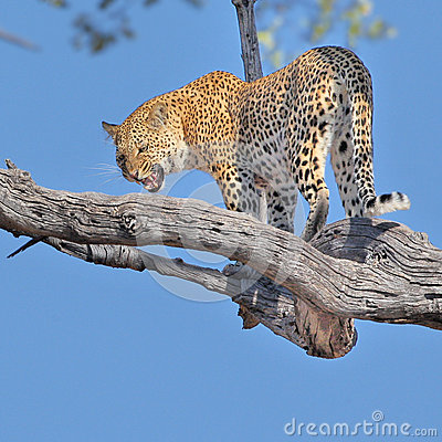 Leopard big spotted cat