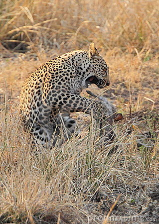 Leopard big spotted cat playing