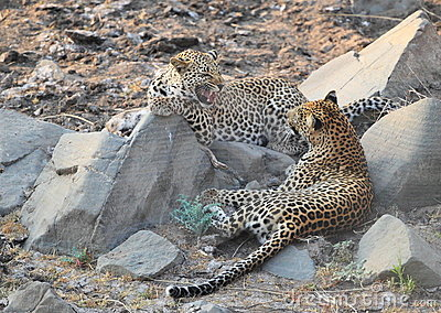 Leopard big spotted cat snarling